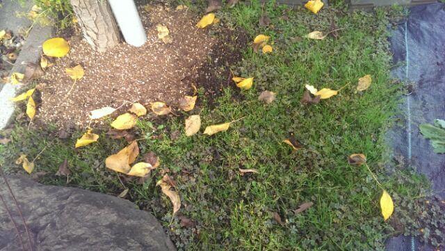 庭の西洋梨の落ち葉掃除をしました