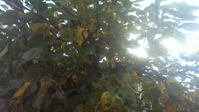 seiyounashi 庭の西洋梨の落ち葉掃除をしました